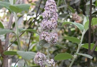 Buddleja-officinalis-Maxim--10111.html